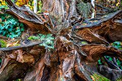 Old excavated sequoia root in the forest stock photography