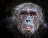 The old face of a chimpanzee. The old face of a chimpanzee on a black background royalty free stock photography