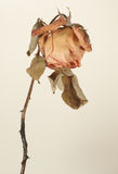 Old faded and bent rose. Old faded and bent rose on a white background royalty free stock image