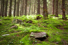 Old fairy forest with moss and stones on foreground Stock Photos