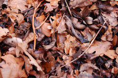 Old fall leaves. Photo taken with Nikon D50 High Res, leaves left after fall, yet rich in colour Royalty Free Stock Photography