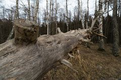 Old fallen decayed dry tree in the forest with birch trees in the background - Veczemju Klintis, Latvia - April 13, 2019 royalty free stock images