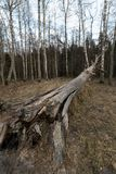 Old fallen decayed dry tree in the forest with birch trees in the background - Veczemju Klintis, Latvia - April 13, 2019 royalty free stock photos