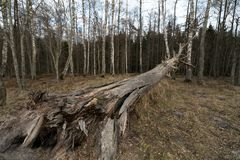 Old fallen decayed dry tree in the forest with birch trees in the background - Veczemju Klintis, Latvia - April 13, 2019 stock photo