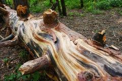old fallen pine tree royalty free stock photos