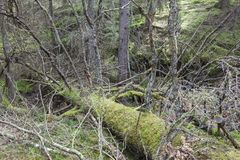 Old fallen spruce tree Stock Photo