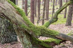 Old fallen tree in forest. Old fallen tree covered with moss in forest royalty free stock image