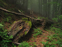 Old fallen tree decaying on hiking path in misty forest. Stock Image