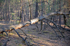 Old fallen tree lying in the woods.  Stock Photos