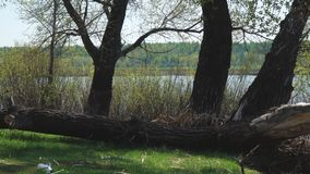 Old fallen tree on the shore. An old fallen tree on the shore of a lake or river stock footage