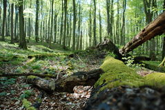 An old fallen tree in a sunlit forest. An old fallen moosed tree in the foreground in a sunlit spring forest Stock Image
