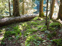 Old fallen tree. In a wild forest near the river Stock Photography