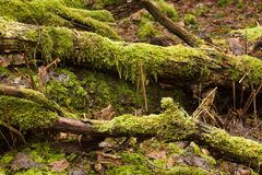 Old fallen trees with lots of moss on them, close up. royalty free stock photography