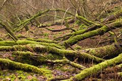 Old fallen trees with lots of moss on them, close up stock photos