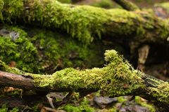 Old fallen trees with lots of moss on them, close up stock image