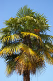 Old fan palm tree. The fan palm tree with green and yellow leaves Royalty Free Stock Images