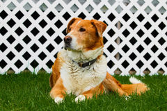Old farm dog sitting on grass with a white lattice background.  royalty free stock image
