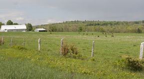 Old Farm Fence and Cows Stock Photos