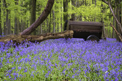 Old farm machinery in vibrant bluebell  Spring forest landscape Royalty Free Stock Images