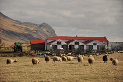 Old farm and many sheep, Iceland Royalty Free Stock Photo