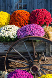Old Farm Wagon Wheel and  Mums Royalty Free Stock Photography