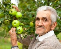 Old farmer and apple tree. Portrait of a senior farmer checking the apples in his orchard Stock Images