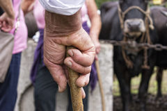 Old farmer hand holding a stick Royalty Free Stock Image
