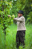 Old farmer in his orchard Royalty Free Stock Image