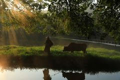 Old farmer lead the cattle under the ancient banyan tree royalty free stock images