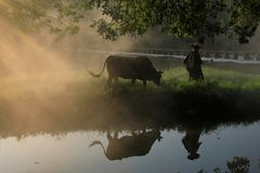 Old farmer lead the cattle under the ancient banyan tree stock photos