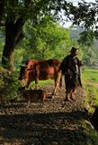 Old farmer lead the cattle under the ancient banyan tree stock photo