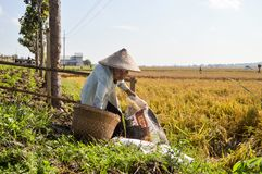 Old farmer at paddy fields Royalty Free Stock Photos