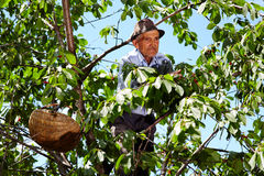 Old farmer picking cherries Royalty Free Stock Photography