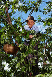 Old farmer picking cherries Royalty Free Stock Image