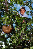 Old farmer picking cherries Royalty Free Stock Images