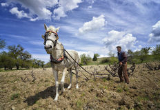 Old farmer plow horse. An old farmer plowing field with plow horse Stock Image