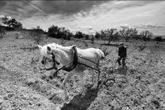 Old farmer plow horse. An old farmer plowing field with plow horse Royalty Free Stock Image