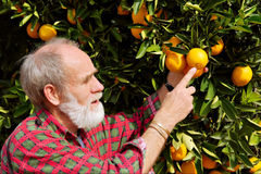 Old farmer points at orange fruit Royalty Free Stock Images