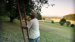 Old farmer putting ladder to apple tree and picking apples. HD1080p: Old farmer putting ladder to apple tree and picking apples stock video footage
