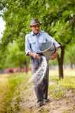 Old farmer spreading fertilizer in orchard. Senior farmer spreading fertilizer from a bucket into a plum trees orchard, spring work stock images