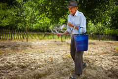 Old farmer spreading fertilizer in orchard Royalty Free Stock Photos