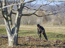 Old farmer spring cleaning the orchard Royalty Free Stock Images