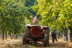 Old farmer with tractor harvesting plums Royalty Free Stock Photos