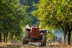 Old farmer with tractor harvesting plums Royalty Free Stock Images