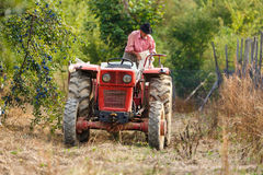 Old farmer with tractor harvesting plums Royalty Free Stock Photography