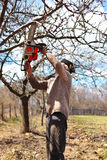 Old farmer trimming apple trees Royalty Free Stock Photography