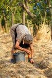 Senior farmer woman harvesting plums Royalty Free Stock Photo