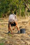 Senior farmer woman harvesting plums Stock Photography