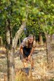 Senior farmer woman harvesting plums Royalty Free Stock Image
