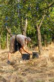 Senior farmer woman harvesting plums Royalty Free Stock Image
